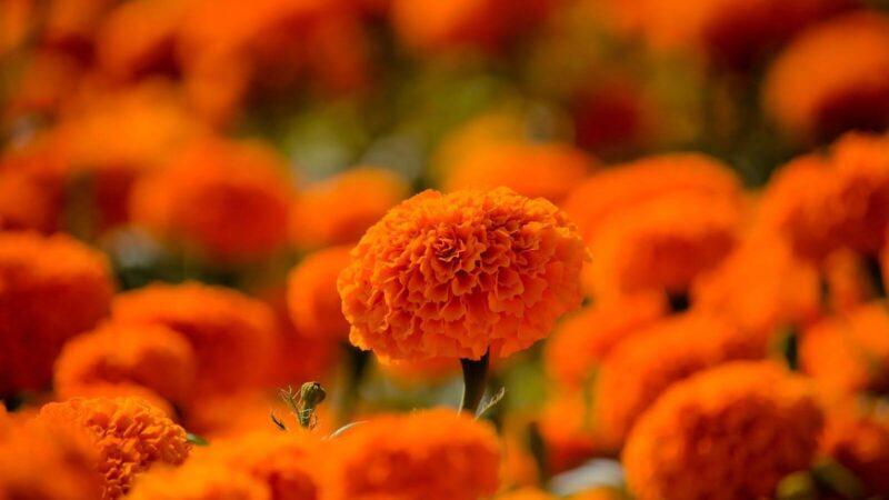 6 productos de belleza con flor de cempasúchil para una piel hermosa.