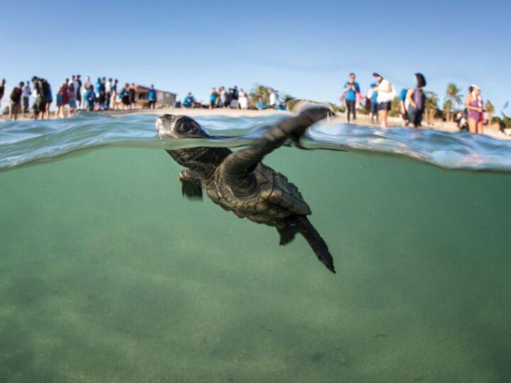Realizan la primera liberación virtual de tortugas golfinas en el Abierto Mexicano Telcel.