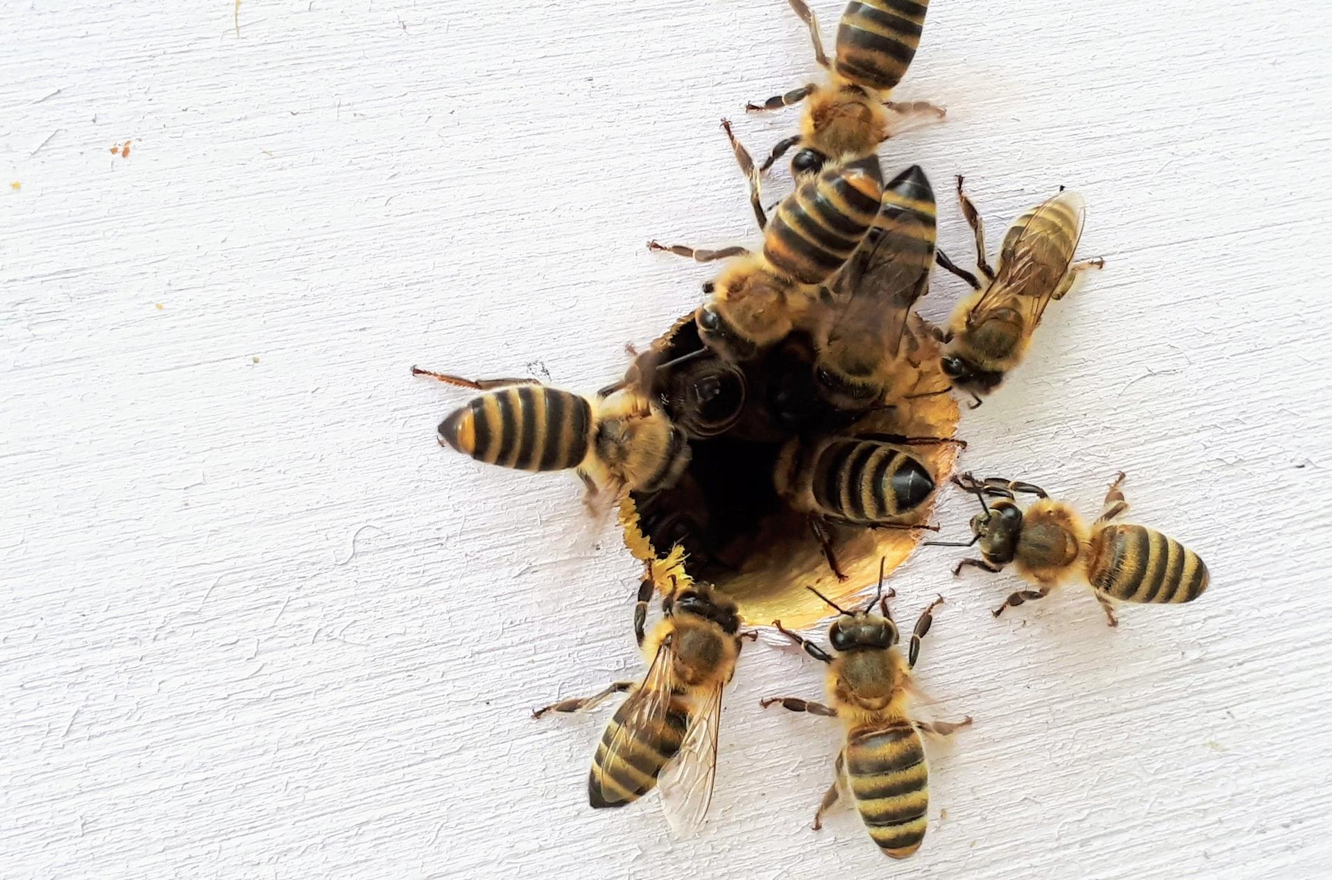 ¿Por qué las abejas son el ser vivo más importante del planeta? Día mundial de las abejas